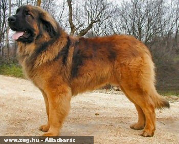 Leonbergi kutya