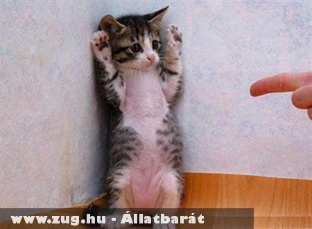 Cirmos cica játszik