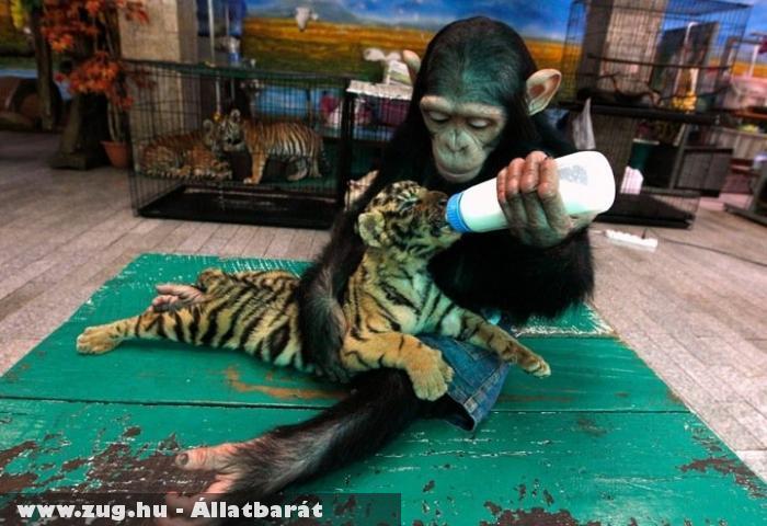 Tigrisvédelmi központ - majom etet tigrist