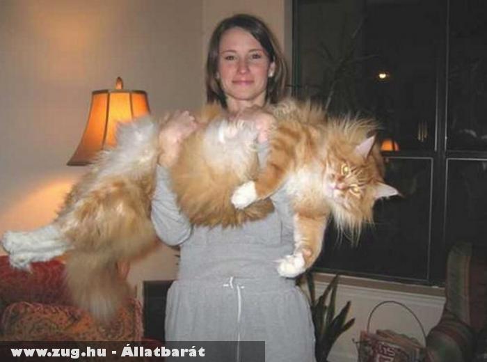 A világ legnagyobb macskája :)