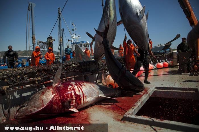 Durva: Véres tonhal halászat