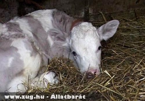 Lila tehén született