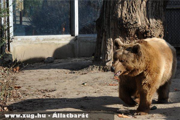 Egy medve lépdel a napsütésben, a Fõvárosi Állat- és Növénykert kifutójában, ahol megláthatta az árnyékát