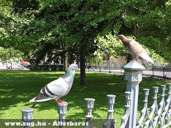 Galambok budapesten a kerítésen