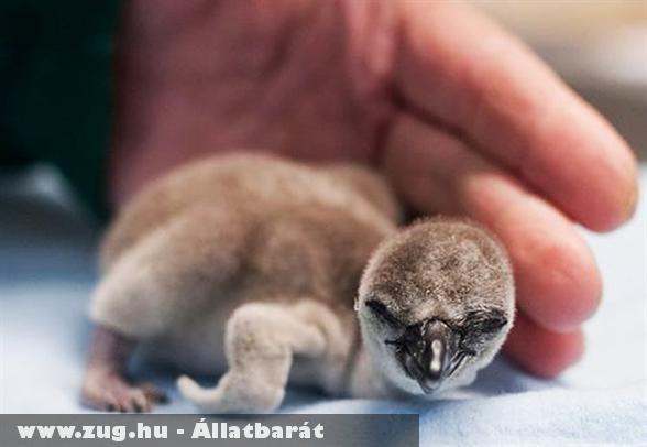 Humboldt-pingvin kölyök New Yorkban