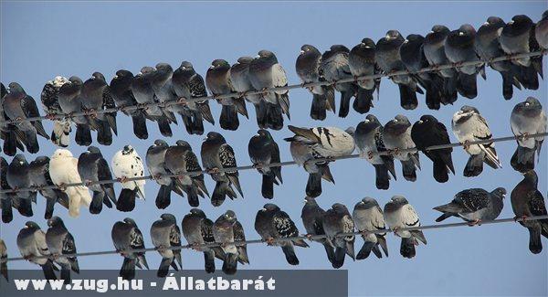 Villanyvezetéken pihenõ galambok ülnek egymás mellett a napsütésben, Debrecen közelében egy tanyánál