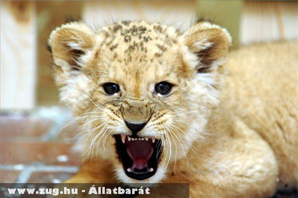 A Nyíregyházi Állatparkból érkezett két és fél hónapos hím oroszlánkölyök a  Pécsi Akvárium és Terráriumba