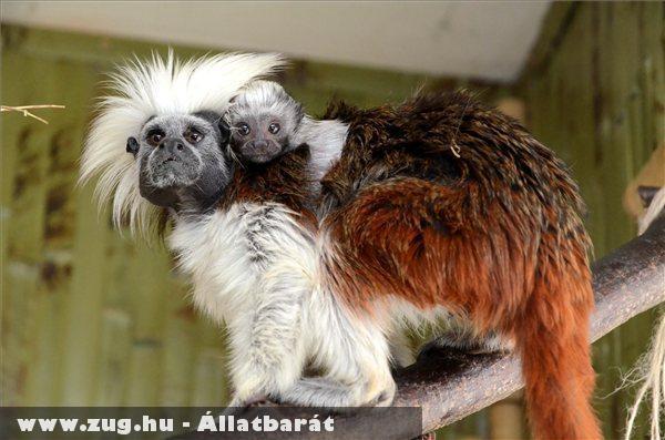 A Kócos nevû egyhónapos Liszt-majmocska az apjába kapaszkodik