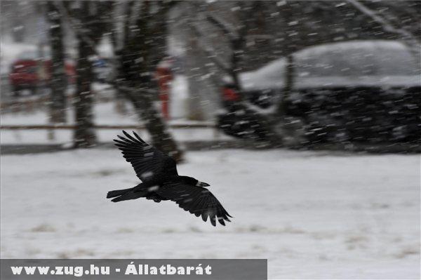 Vetési varjú (Corvus frugilegus) repül a hóesésben Békásmegyeren