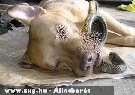 Pitbull mentett embert a kígyó marástól