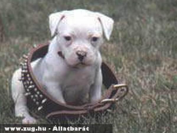 Kicsi kutya / nagy nyakörv