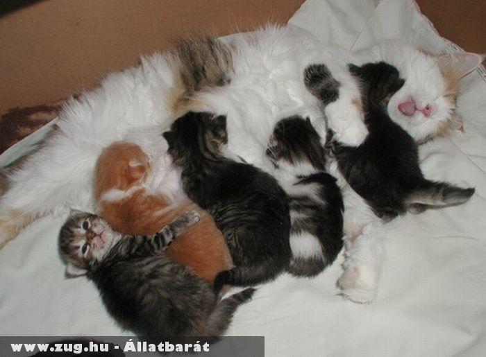 Cica mama és a kiscicák