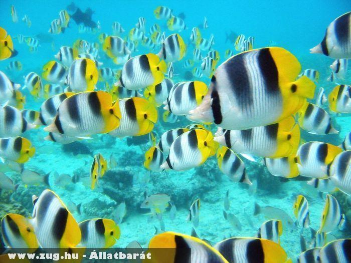 Trópusi halak