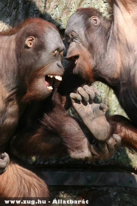 Nevetgélõ majmok