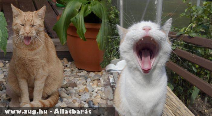 Röhögõ macskák