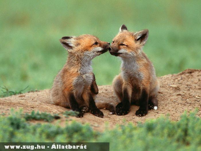 Puszilkozó rókák