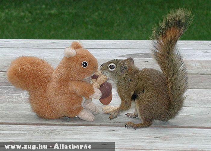 Plüssmókussal játszik a valódi mókus