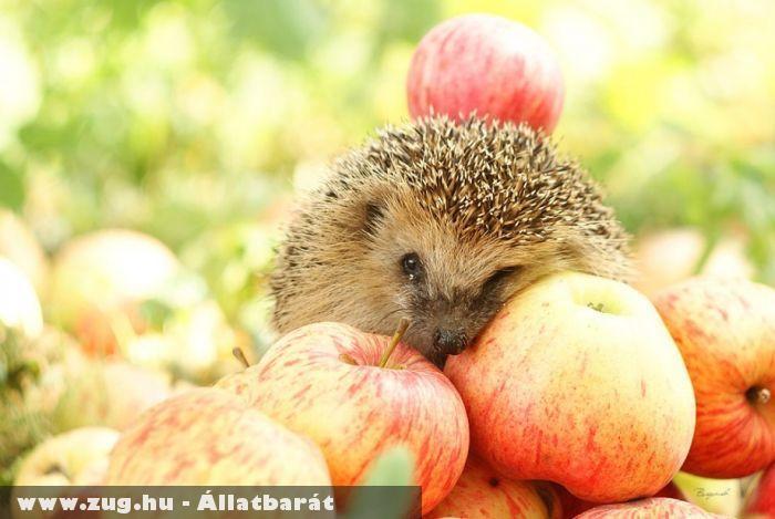 Almák közt pihenõ sünik