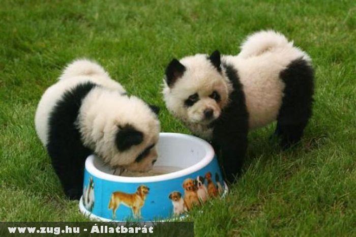 Szomjas pandák