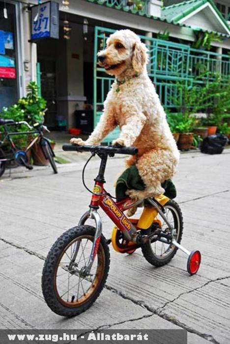 Biciklizõ kutyus