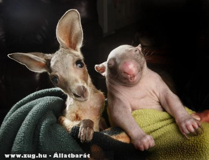 Kenguru és wombat