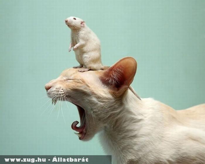 Macskát rémisztgetõ egér
