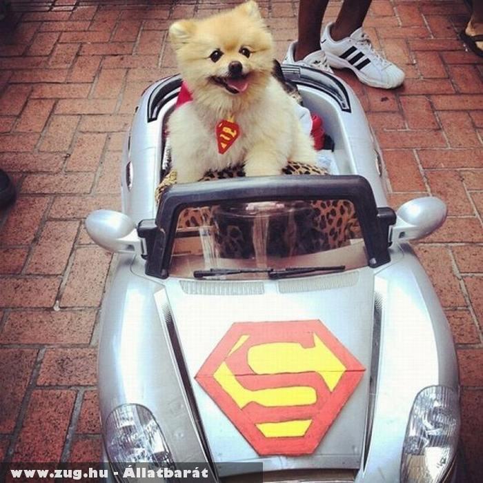 Superman kutyus