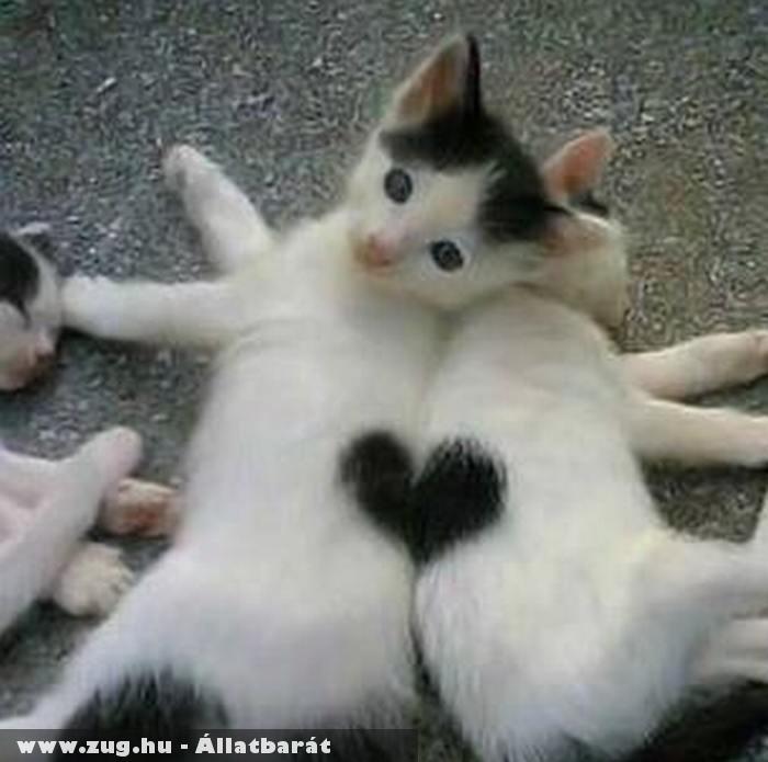 Cica szív