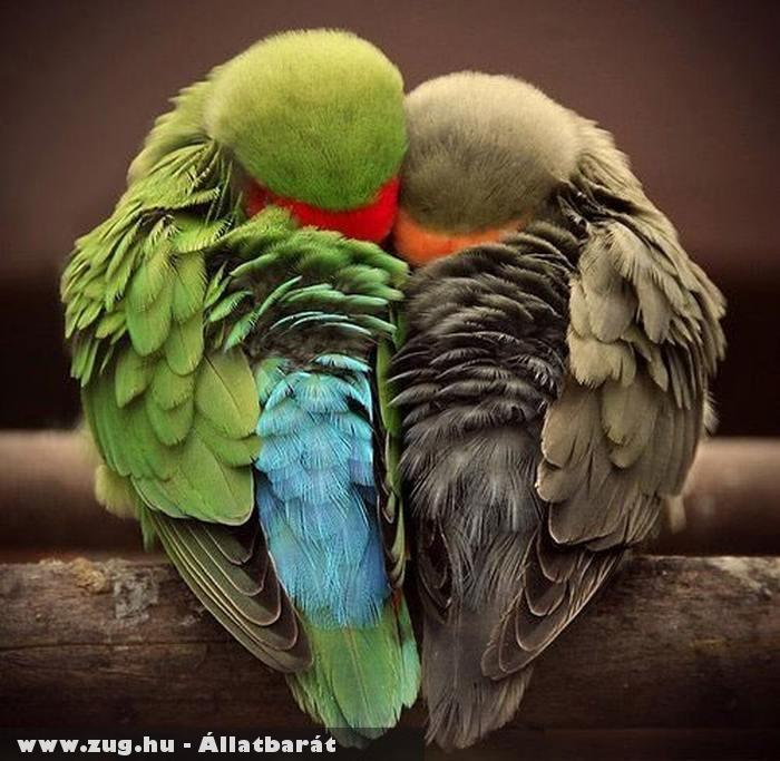 Papagájok összebújva