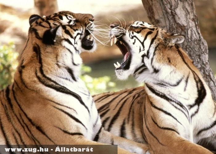 Viaskodó tigrisek