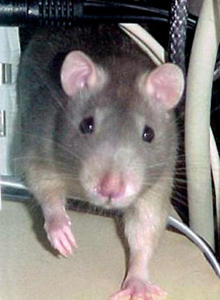 Patkány koma közlekedik!