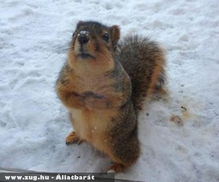 Aranyos mókus