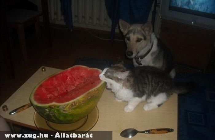 Dinnyerágó macska