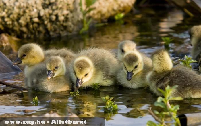 Kacsa család