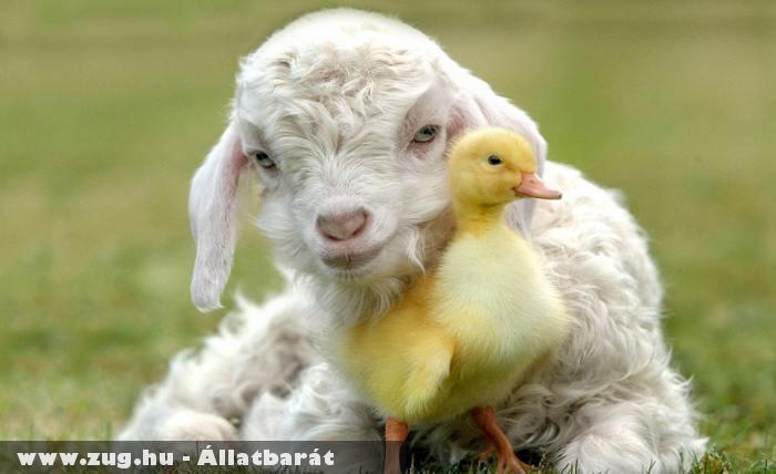 Kacsa - bárány barátság