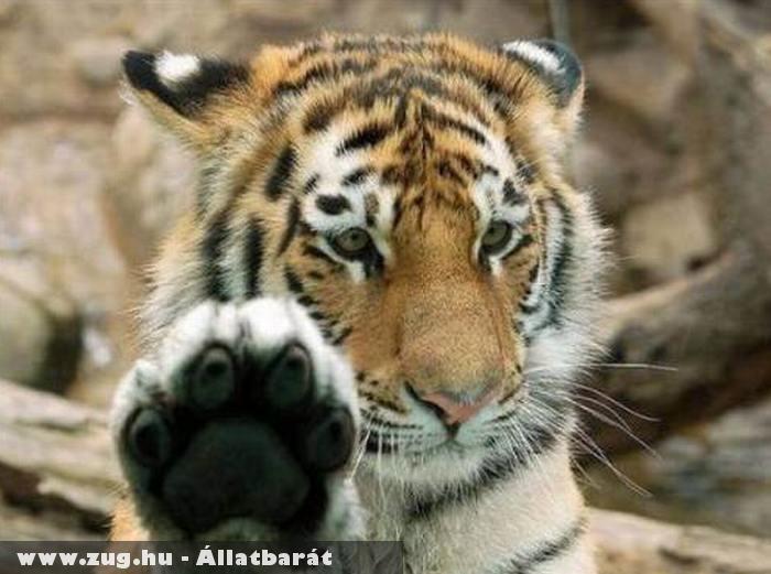 Tigris pacsi