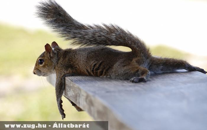 Elfáradt mókus