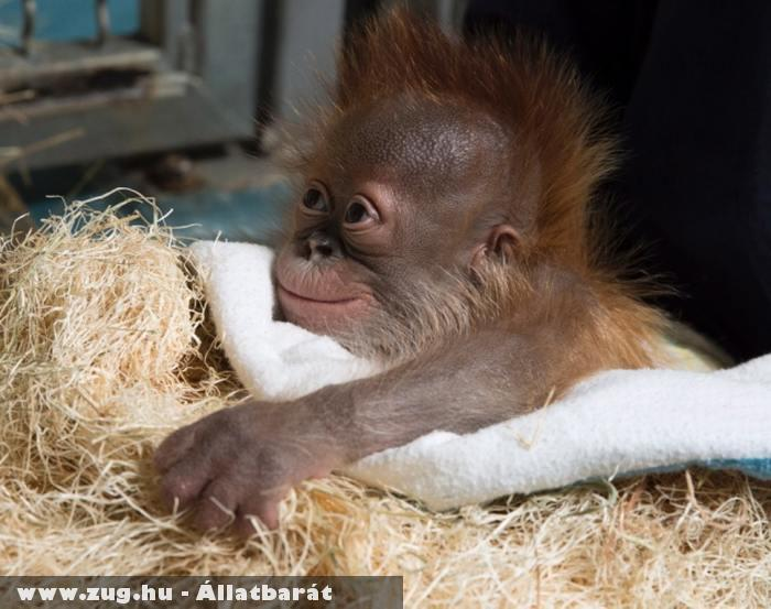 Csimpánz kölyök