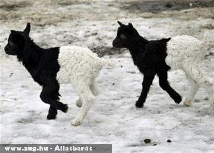 Kétszínû kecskék