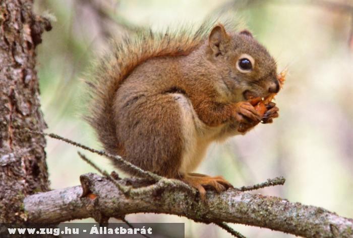 Habzsoló mókus