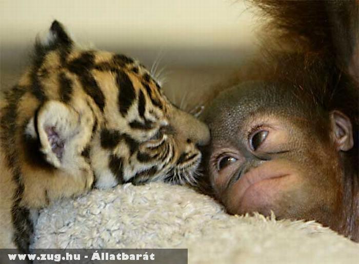 A majom és a tigris barátsága