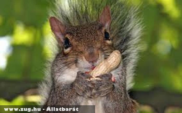 Mogyorót talált a mókus