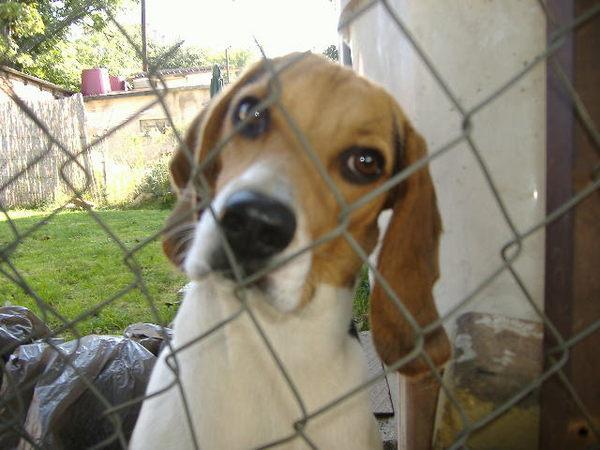 Lilu a beagle