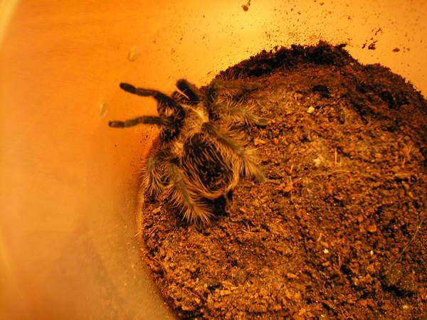 Kis tarantula