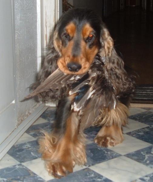 Kutya kacsaszárnyat eszik