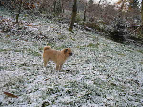 Kuki a sicu és mopsz keverék és az idei elsõ hó