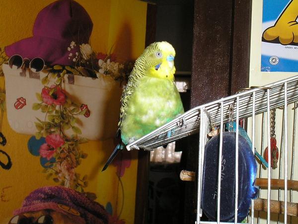 Pityu a papagáj