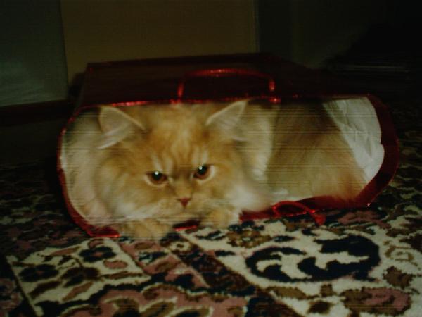 Tigris, a legszebb cica