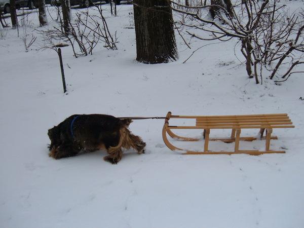 Szánkós kutya