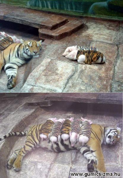 Tigris és koca
